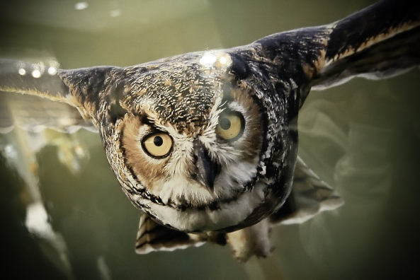 Owl-In-Flight2